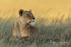 lioness photo Tanzania photo tour