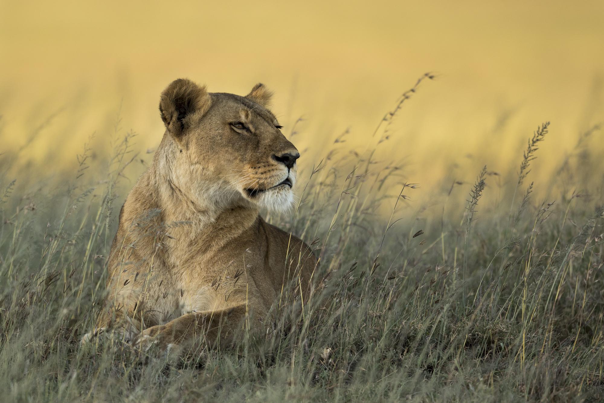 Lioness Tanzania Photo Safari