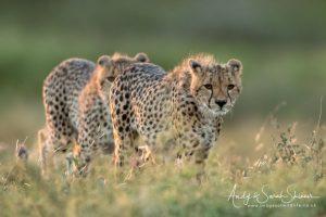cheetahs walking during Tanzania photo tour