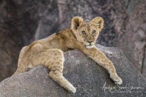cute lion cub on rocks in Tanzania photo tour