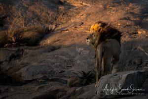 lion in nice light Tanzania photo tour