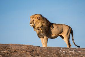 lion standing majestically during Tanzania wildlife photo tour