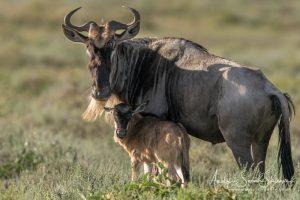 wildebeest calving photo safari