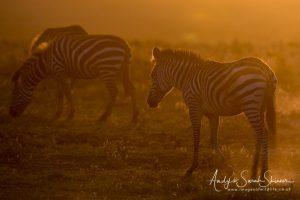 zebra in back light Tanzania photo wildlife safari