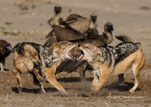 Jackals fighting savuti, Botswana, photo tour