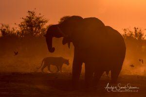 lion and elephant savuti