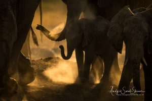 Young elephant in dust
