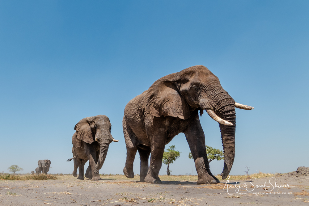 African Elephants walking to waterhole