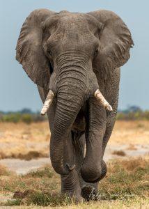 photo of African elephants Botswana wildlife photo safari