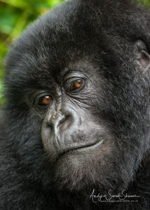 cute mountain gorilla Uganda photo tour