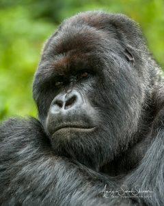 Silverback thinking Uganda wildlife photo tour