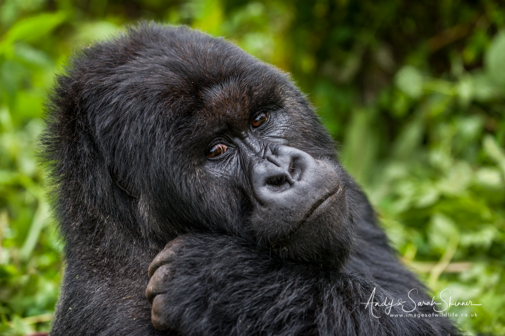 Portrait of Gorilla Photo tour