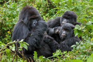 Gorilla family Uganda photo tour