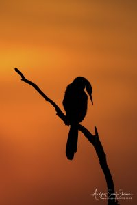 silhouette of African darter in Chobe on Botswana photo safari