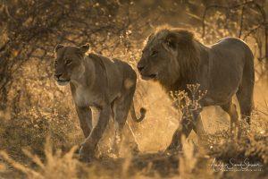 African Lion. Botswana