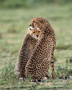 cheetah and cub photo Tanzania photo tour