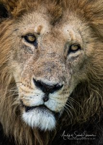 male lion head shot close up photo big cats photo safari