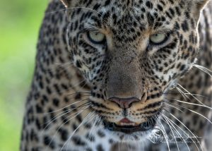 leopard close up photo Maasai Mara photo safari