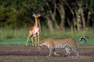 leopard stalking impala in Maasai mara
