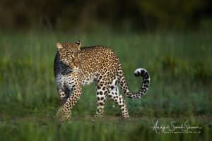 leopard in morning light photo