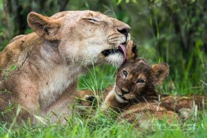 lioness washing cub photo