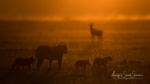 back light lion family photo