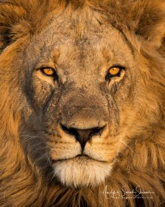 close up of male lion photo