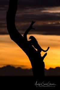 cheetah climbing tree photo