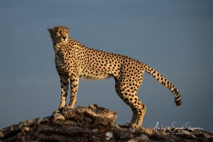 cheetah on mound photo