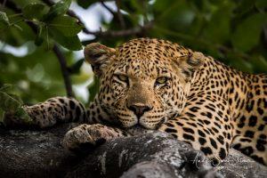 male leopard in tree photo