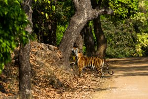 tiger sniffing tree
