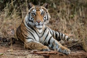 photo of tiger sitting down tigers of Bandhavgarh photo tour