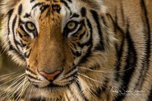 close up photo of tiger Indian photographic tour