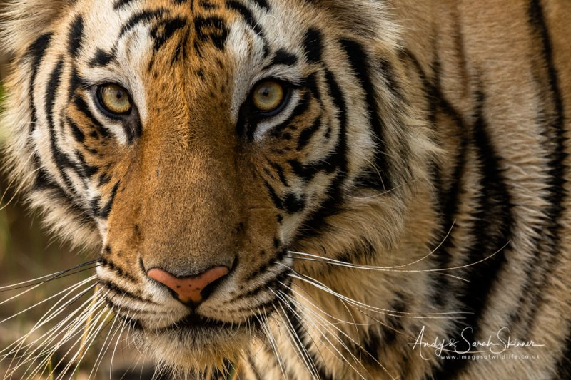 close up photo of tiger Indian photographic tour