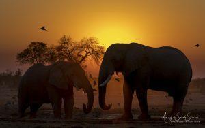 elephants at waterhole savuti
