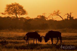 wildebeest fightings savuti photo safari
