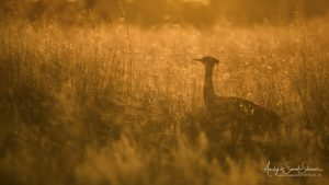 golden light kori bustard during Botswana wildlife photo safari