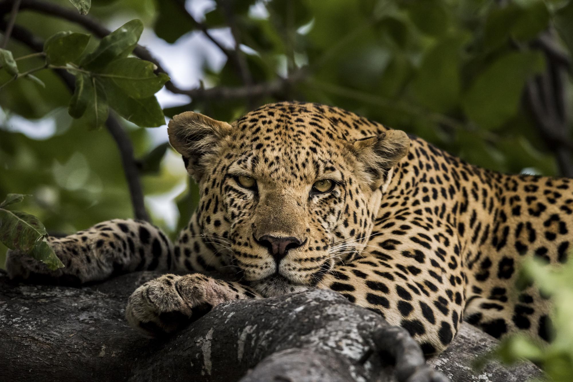 leopard Botswana photographic safari