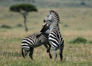 zebra's fighting Maasai Amara photo safari