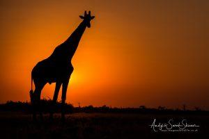 giraffe at sunset Botswana photo safari