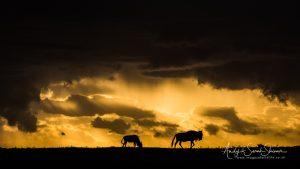 wildebeest at sunset Maasai mara