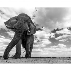 african-elephant-10