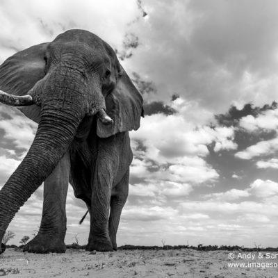 African Elephant-10