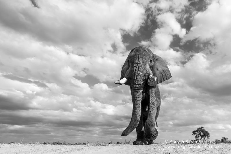 African Elephant-11