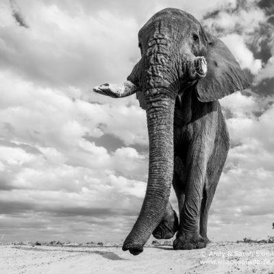 African Elephant-12