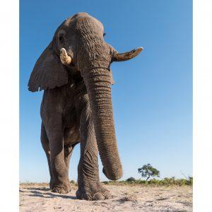 african-elephant-13