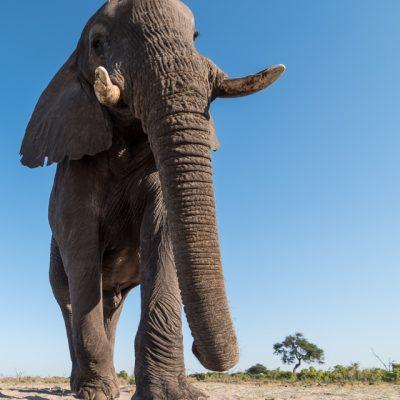 African Elephant-13
