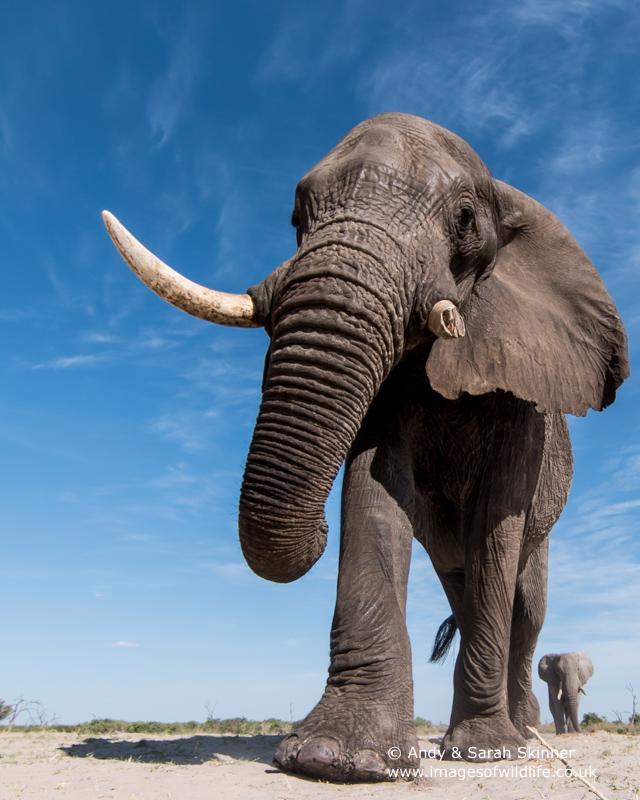 African Elephant-14