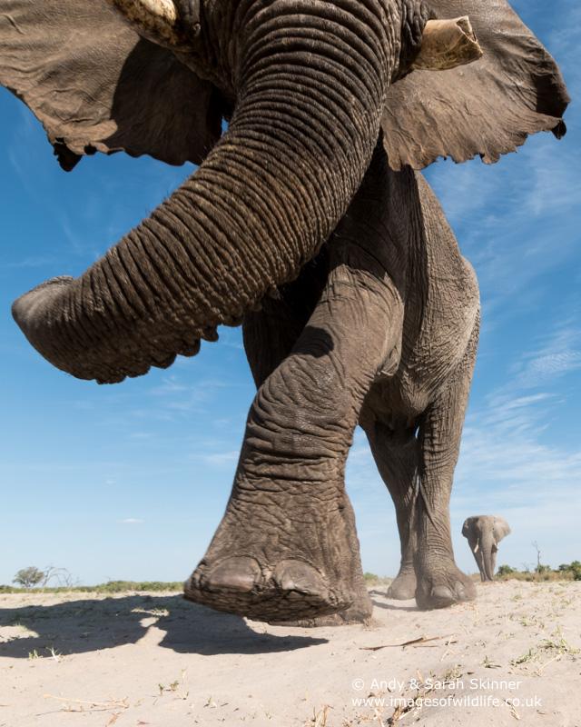African Elephant-15