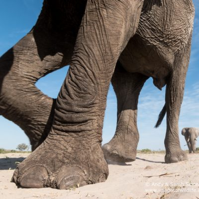 African Elephant-16